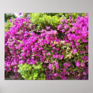 Bouganvilla Hot Pink Flowers Bush Poster