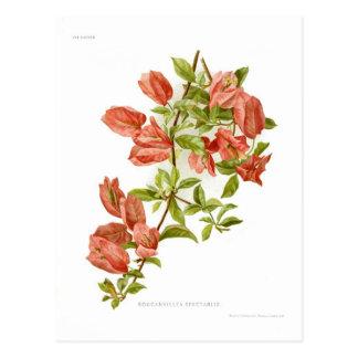 Bouganvillea spectablis postcard