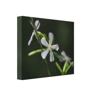 Bouncing Bet White Wildflowers Floral Canvas Print