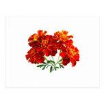 Bouquet of Marigolds Postcards