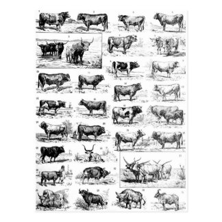 Bovine Chart Postcard