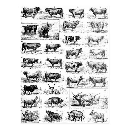Bovine Chart Post Cards