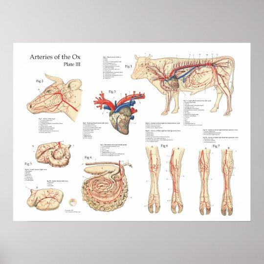 Bovine Cow Blood Vessels Anatomy Poster | Zazzle.com