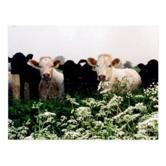 Bovines, Cows in Wiltshire, England Postcard