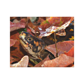 Box Turtle In Autumn Canvas Print