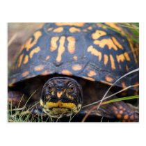 Box Turtle Postcard