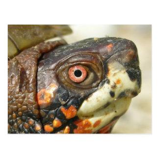 Box Turtle postcard. Postcard