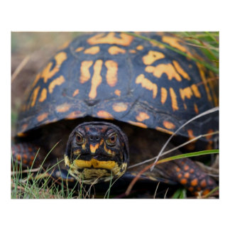 Box Turtle Poster