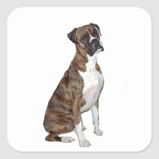 Boxer - brindle (natural ears) square sticker