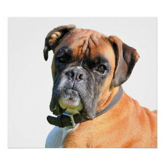 Boxer dog beautiful photo poster print