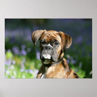 Boxer Dog Headshot Poster