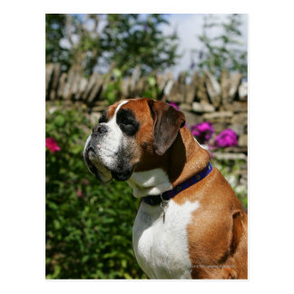 Boxer Dog in the Flowers Post Cards