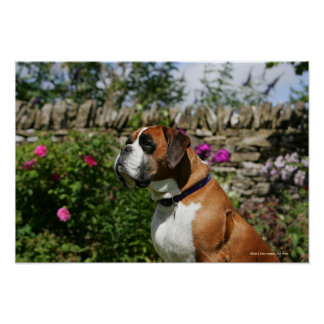 Boxer Dog in the Flowers Print