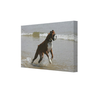 Boxer Dog in Water Canvas Print