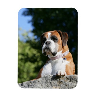 Boxer Dog Laying on a Rock Magnet