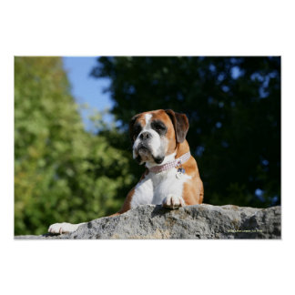 Boxer Dog Laying on a Rock Print
