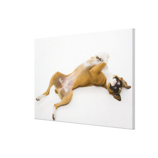 Boxer dog laying on her back on the floor canvas print