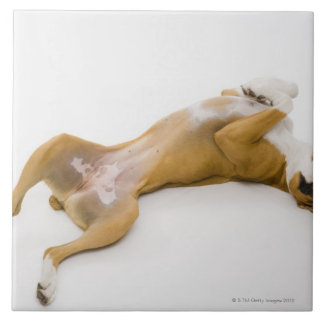 Boxer dog laying on her back on the floor ceramic tile