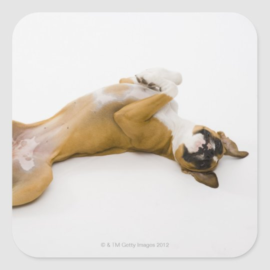 Boxer dog laying on her back on the floor square sticker