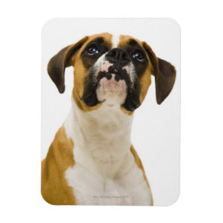 Boxer dog looking up magnet