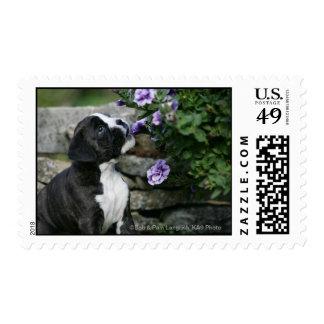 Boxer Dog Panting Postage