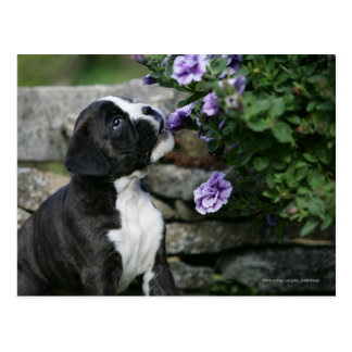 Boxer Dog Panting Postcard