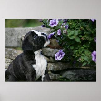 Boxer Dog Panting Poster