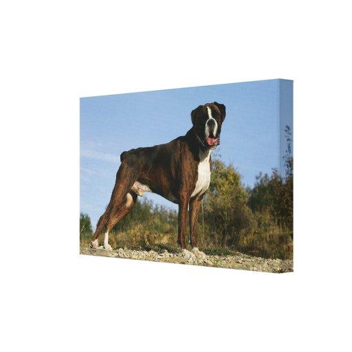 Boxer Dog Show Stance Canvas Print