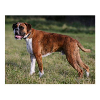 Boxer Dog Standing Postcard