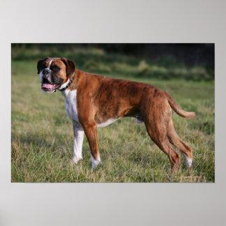 Boxer Dog Standing Print
