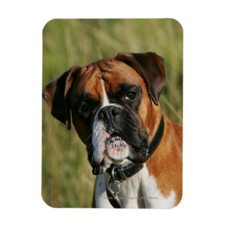Boxer Dog Staring at Camera Magnet