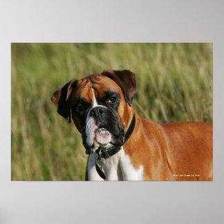 Boxer Dog Staring at Camera Posters