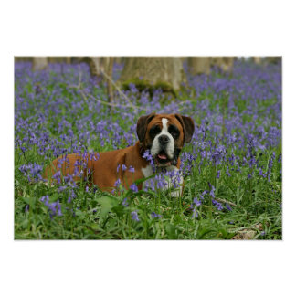 Boxer Laying in Bluebells Poster