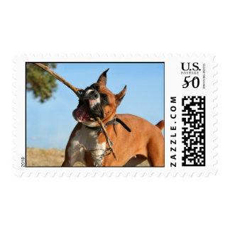 Boxer playing postage