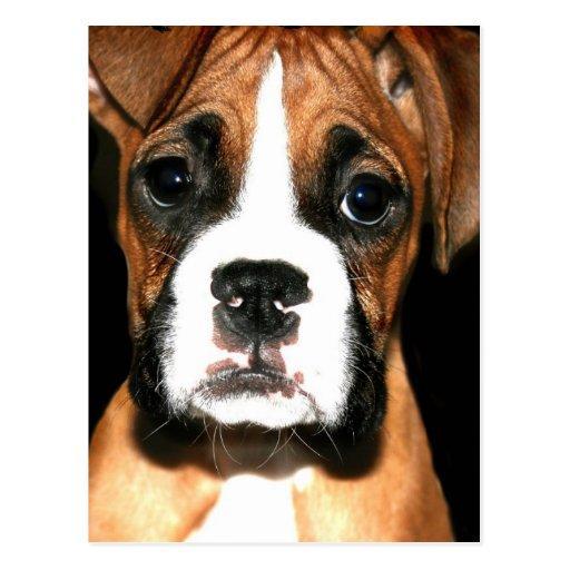 Boxer pup postcard