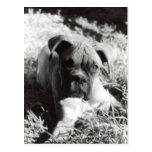 Boxer Pup Postcard 2
