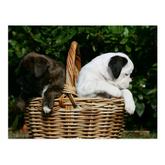 Boxer Puppies in Basket Postcard