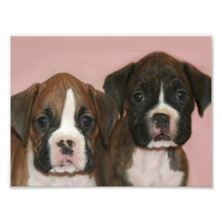Boxer Puppies Art Photo