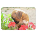 Boxer puppy 4x6 photo magnet