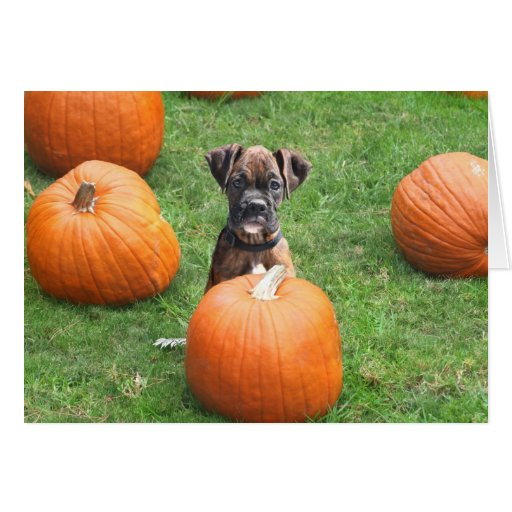 Boxer Puppy in Pumpkin Patch greeting card