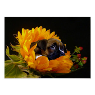 Boxer puppy in sunflower poster