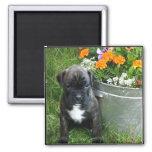 Boxer puppy magnet
