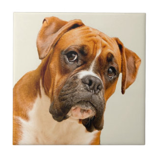 Boxer puppy on ivory cream backdrop. ceramic tile