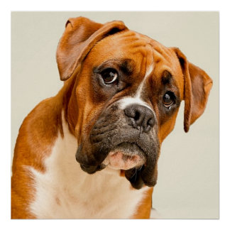 Boxer puppy on ivory cream backdrop. poster