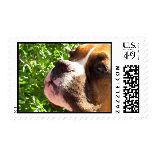 Boxer puppy postage