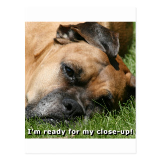 Boxer:  Ready for close-up Postcard