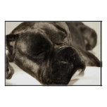 Boxer sleeping poster