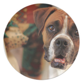 boxer's face weeping of friendly behavior dinner plate