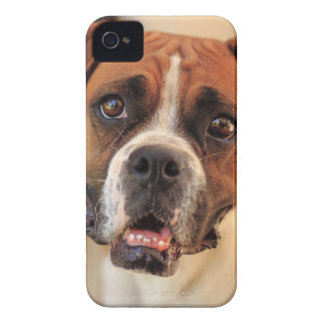 boxer's face weeping of friendly behavior iPhone 4 case