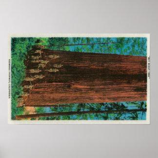 Boy Scout Tree on Redwood HighwayRedwoods, CA Poster